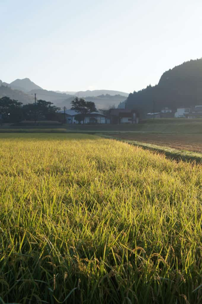 Rice field ready for the harvest in Kikuchi
