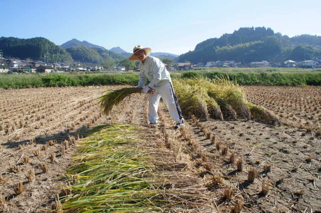 Mr Yonemura harvesting his rice field in Kikuchi