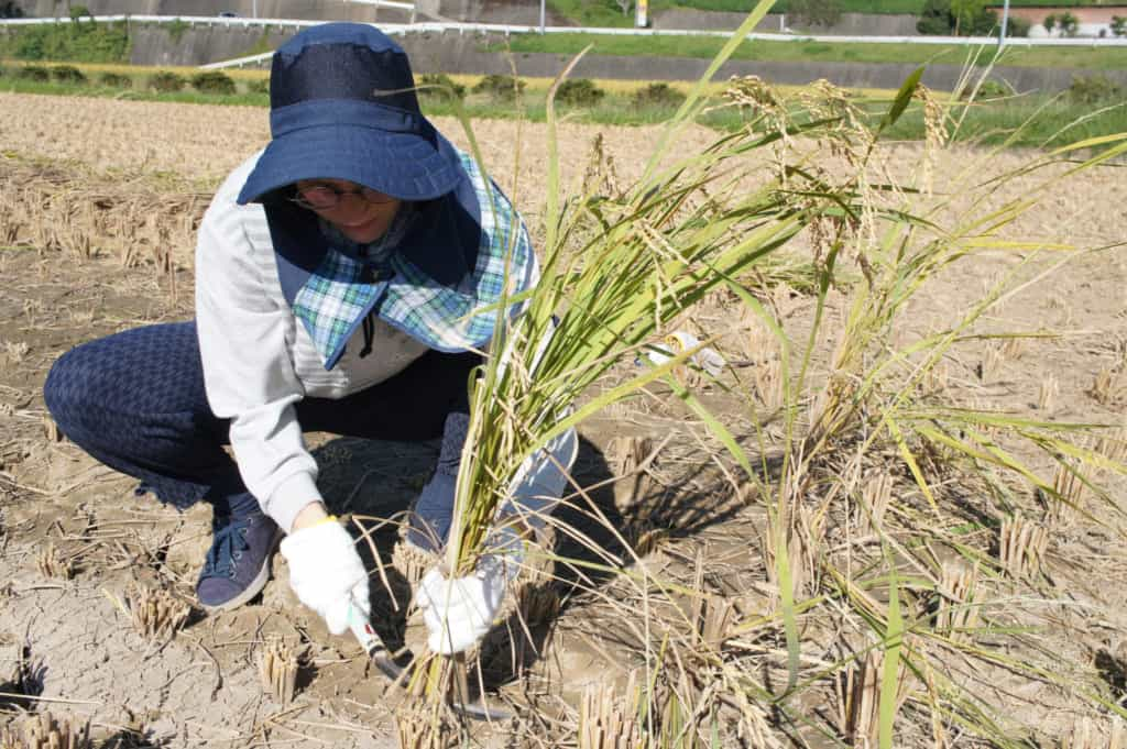 Clementine harvesting rice in Kikuchi