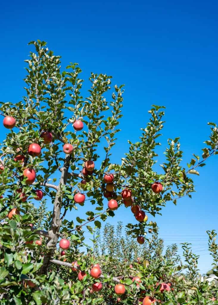 Apple orchard in Iiyama City