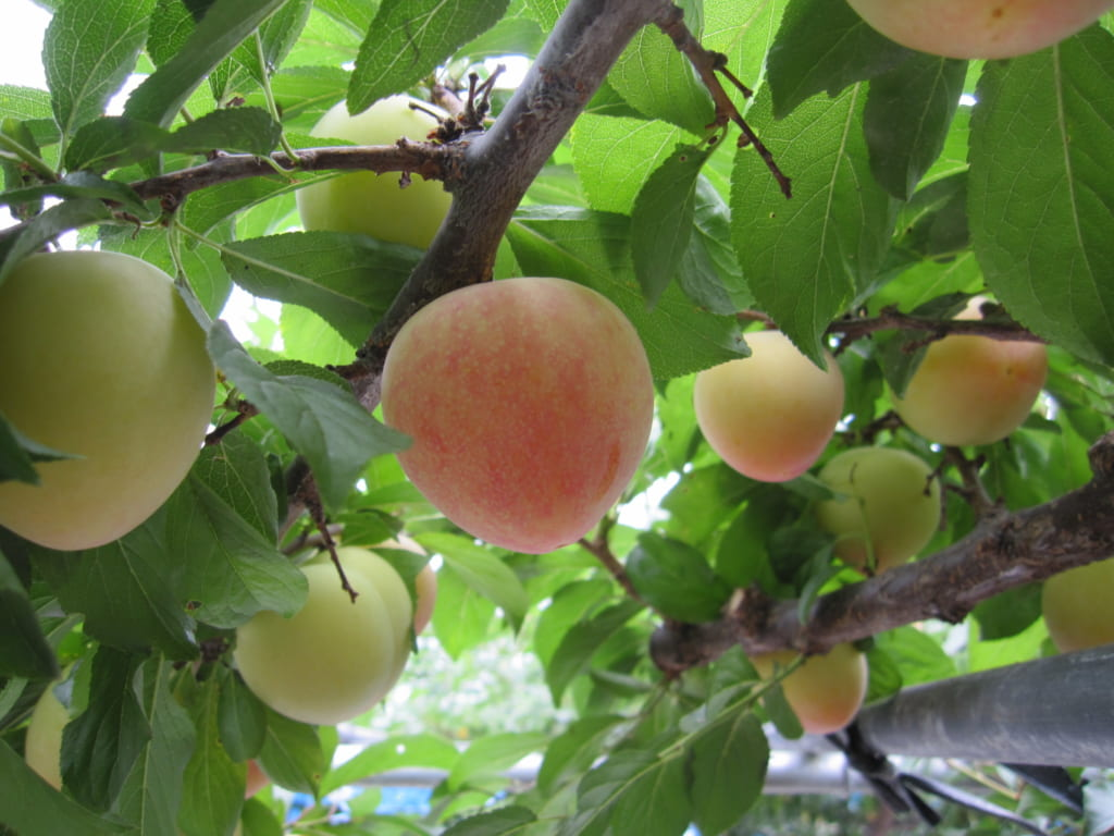 Prunes japonaises Honey Rosa sur les branches de l'arbre