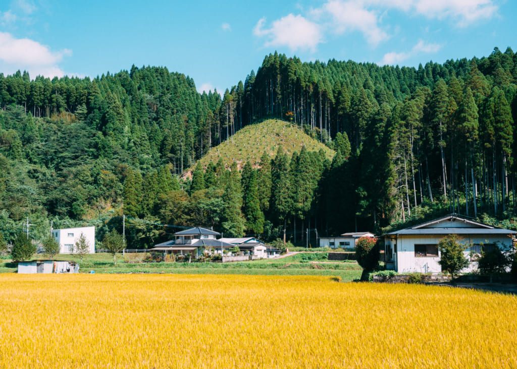 Rizières dorées sous le soleil à Minami-Oguni Kumamoto