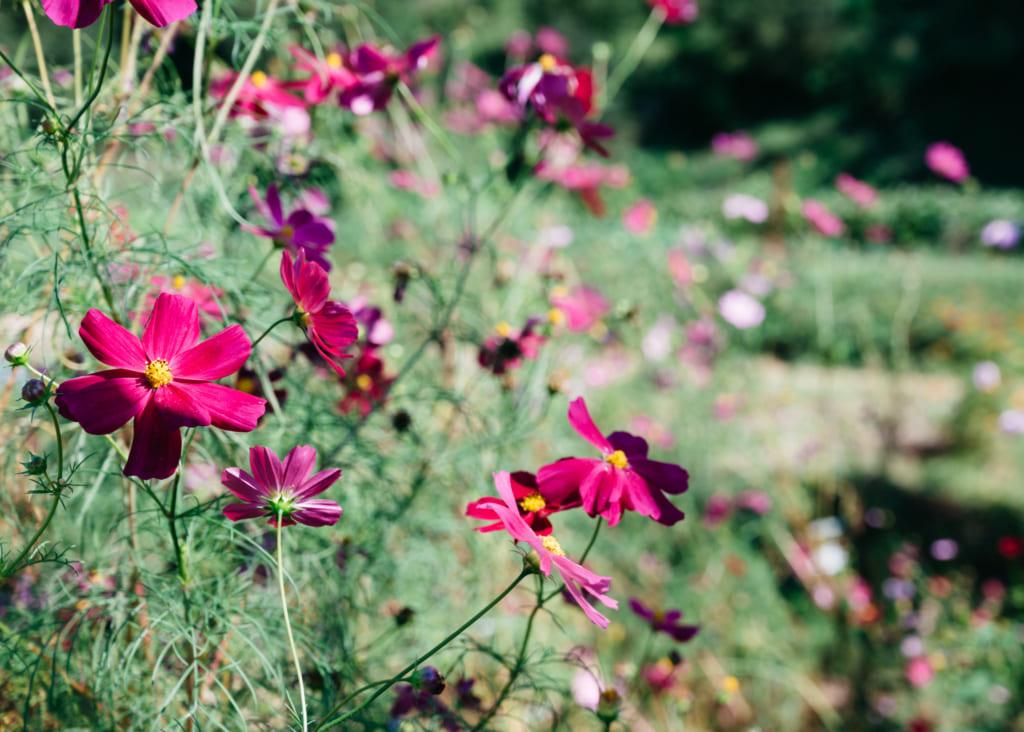 Fleurs de cosmos à Minami-Oguni , Waita Onsen