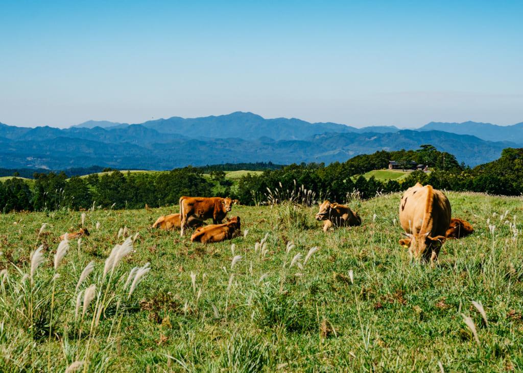 Vaches Akaushi paissant dans les paysages du nord de Kumamoto