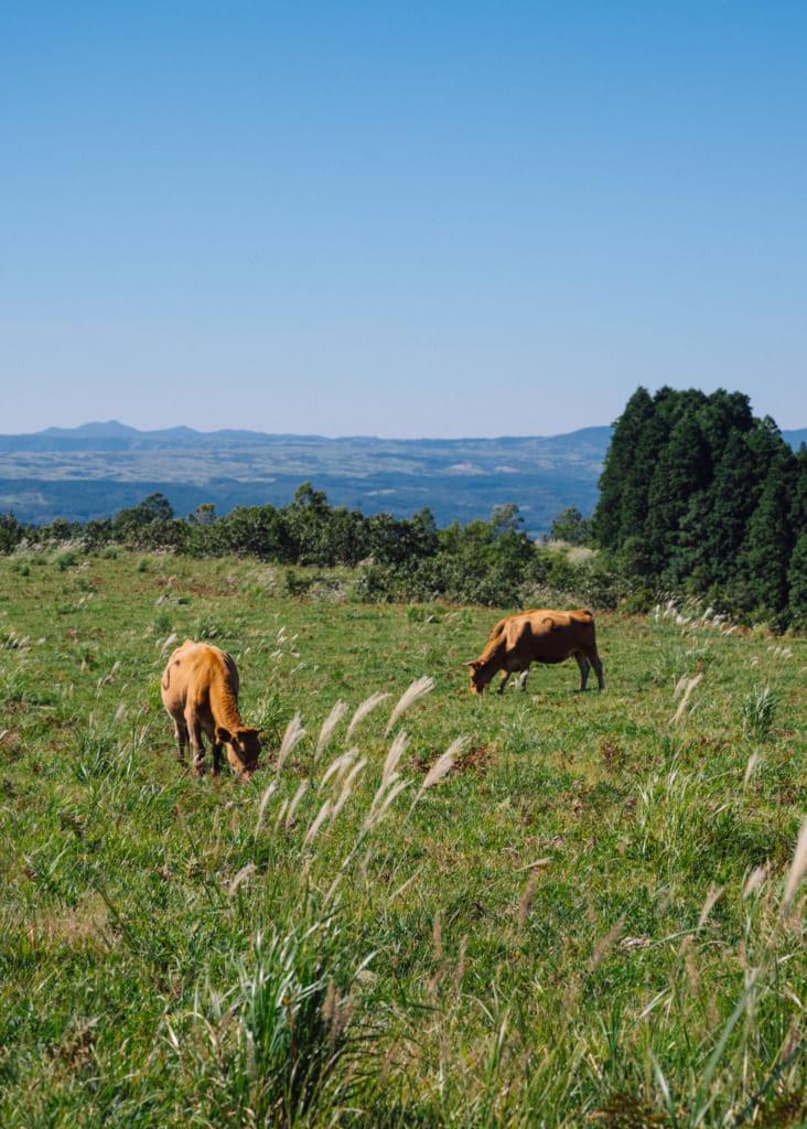 Vaches broutant sur les hauts-plateaux de Senomoto , Kumamoto