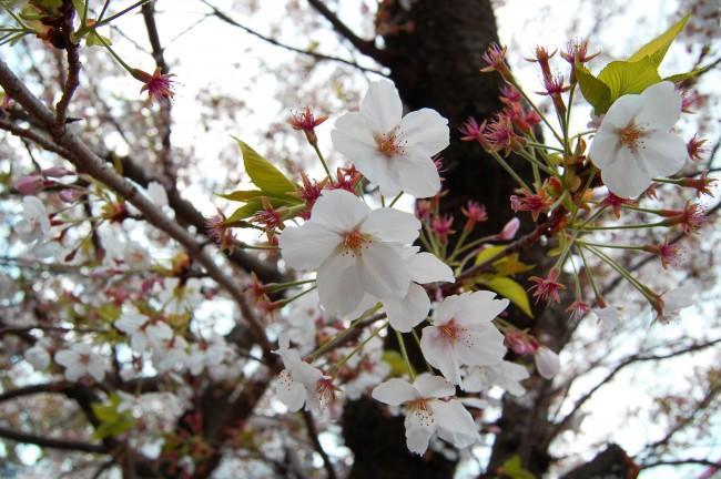 Cerezos en flor en el jardín del templo Enmeiji de Nagasaki