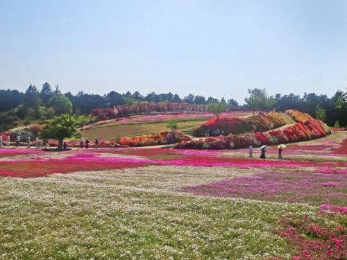 capos de shiba sakura