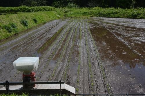Cultivando arroz en Takane con una máquina.
