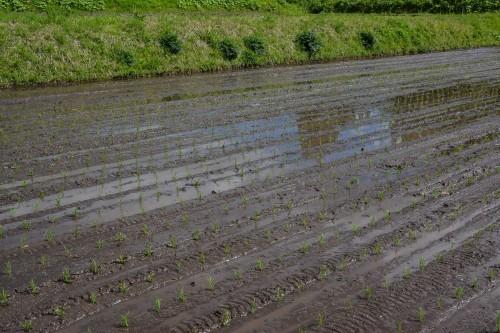Campos de arroz recién cultivados en Takane, cerca de Murakami.