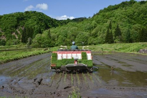 Cultivando arroz con una máquina en Takane.