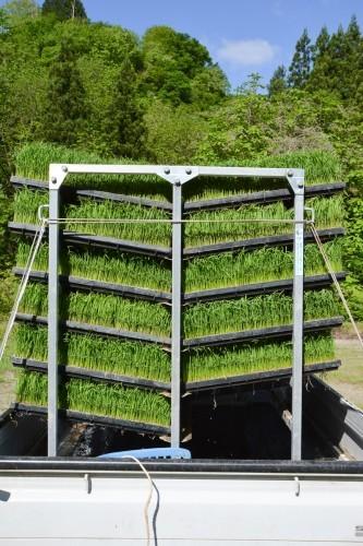 Camión repleto de plantas de arroz en Takane.