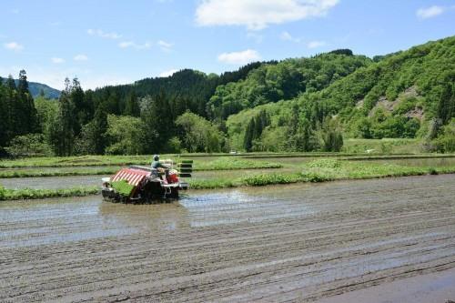 Plantando arroz en Takane.