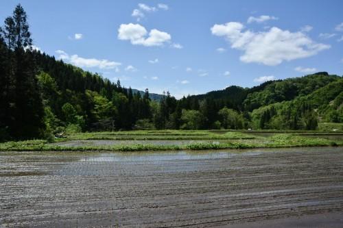 Campos de arroz recién plantado en Takane, Niigata.