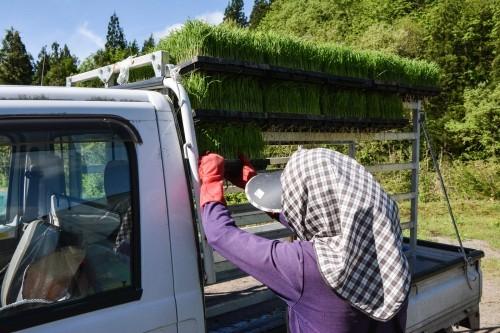 Furgoneta cargada con plantas de arroz.
