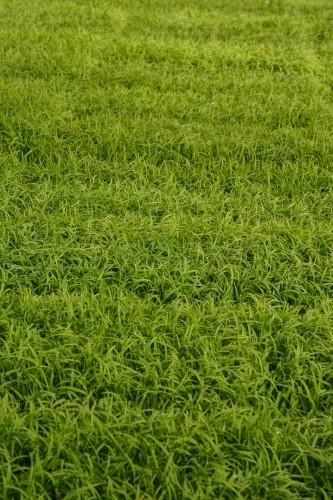 Campo de arroz en Takane.