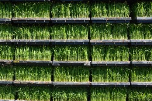 Plantas de arroz.