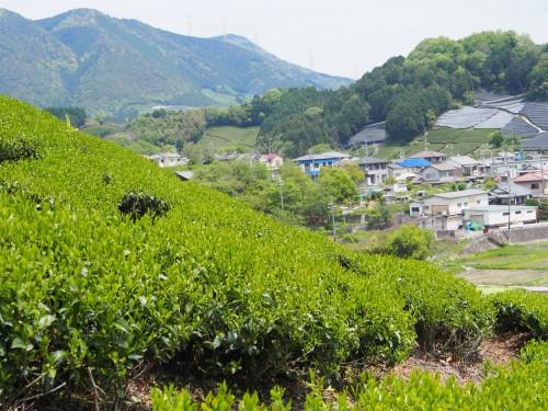 Wazuka, región conocida por la calidad de su té.