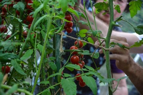 Tomates cherry en un huerto de Oita.
