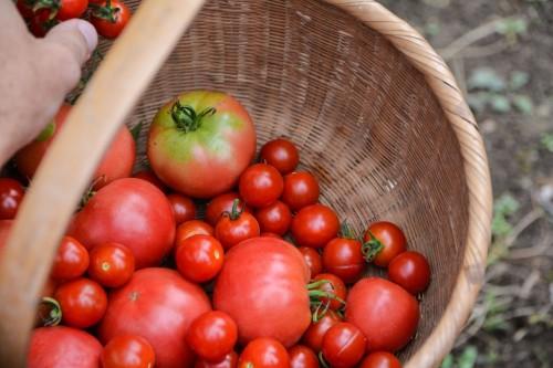 Tomates en un huerto de Oita.