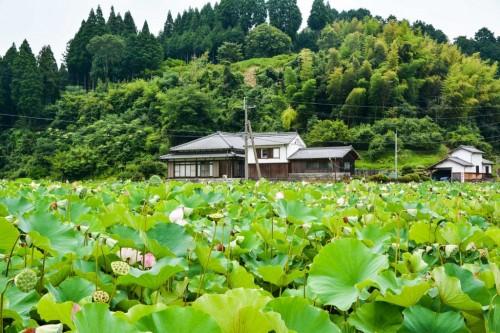 Estanque repleto de flores de loto en Usuki (Oita).