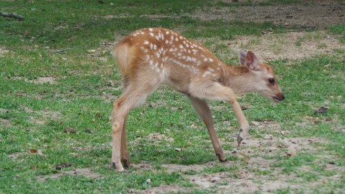 Bébé faon à Nara, on pense à Bambi !