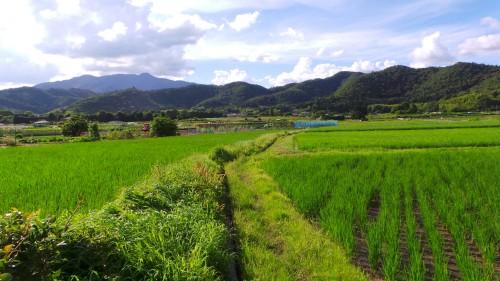 Rizières à Kyoto