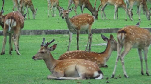 Ensemble de cerfs et de biches à Nara dans le parc