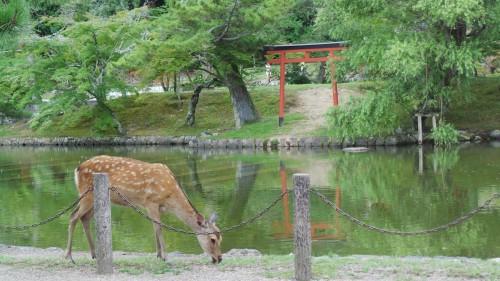 Biche face au torii d'un sanctuaire de Nara