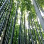 Kamakura – Promenade et thé dans les bambous du temple Hokokuji