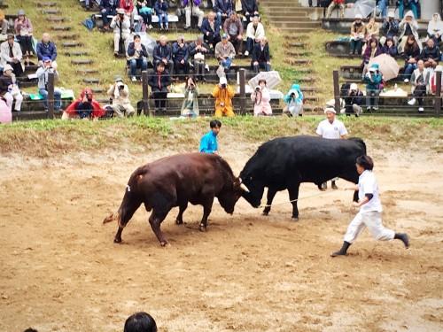 Combat de taureaux adultes à Yamakoshi, préfecture de Niigata, Japon.