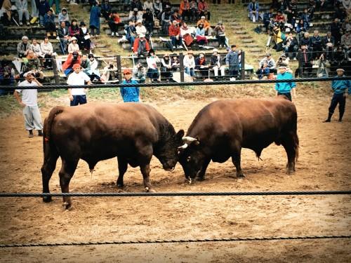 Jeunes taureaux combattant à Yamakoshi, préfecture de Niigata, Japon.