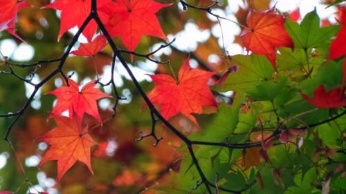 Koyo ou momiji, l'automne à Matsumoto, Japon.