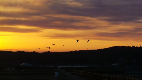 Vol de grues au coucher du soleil, Izumi, Kyushu, Japon.