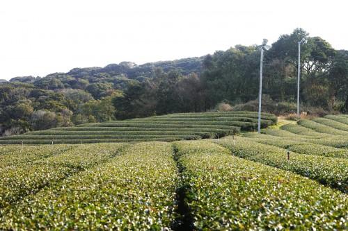 Expérience en Nouhaku : champs de thé vert dans les montagnes d'Izumi