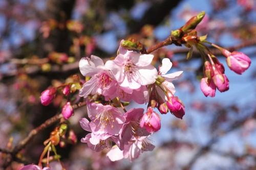 Prunier en fleurs à Ishibu, dans la péninsule d'Izu à Shizuoka.