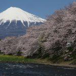 Cerisiers en fleurs : les règles à respecter pendant le hanami