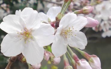 les cerisiers en fleurs dans le château de Sumpo, à Shizuoka au Japon.