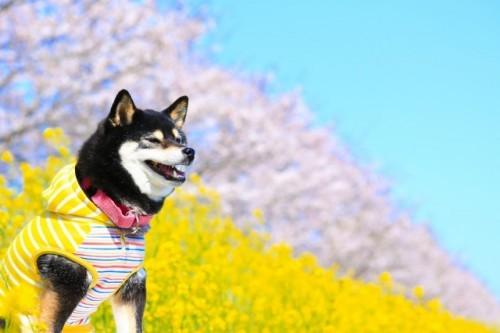 Un joli chien pendant les cerisiers en fleurs, le hanami au Japon
