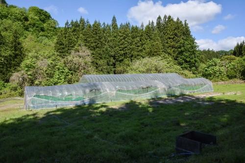Plantez du riz près de Murakami dans le vilage de Takane