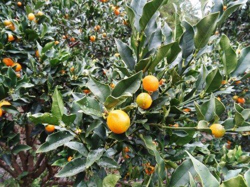 Près 40 variétés de mikan cultivées à Ehime.