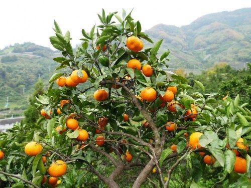 Les mikan : les mandarines japonaises