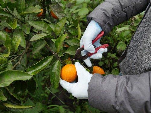 La récolte des mikan avec sécateur et gants.