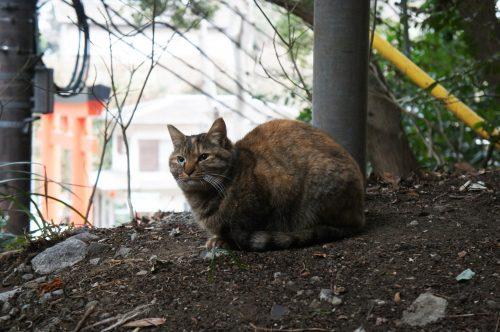 Chat près du sanctuaire Okutsunomiya, Enoshima, Japon.