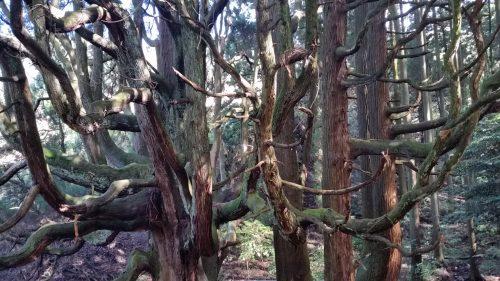 sud de la caldeira du mont Aso, Kumamoto, Kyushu, Itinéraire, Japon, cèdre