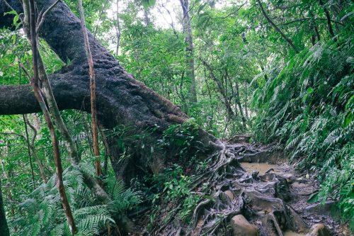L'impressionnante végétation dans la jungle de l'île d'Iriomote dans la Préfecture d'Okinawa, Japon