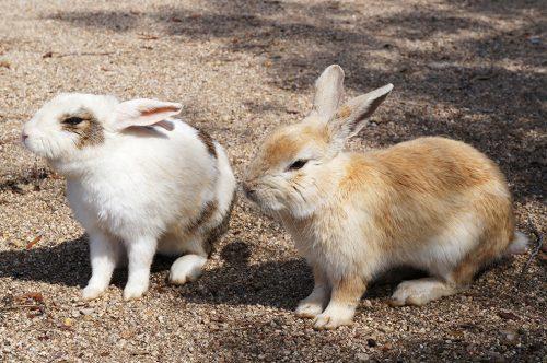 Les lapins peu farouches de l'île d'Okunoshima, Préfecture d'Hiroshima, Japon