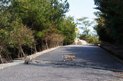 Lapins traversant la route de l'île d'Okunoshima, Préfecture d'Hiroshima, Japon