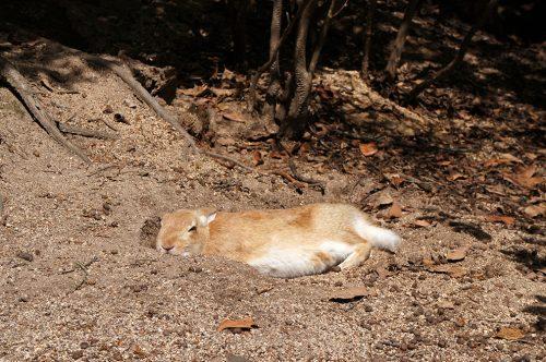 Lapin endormi sur l'île d'Okunoshima, Préfecture d'Hiroshima, Japon