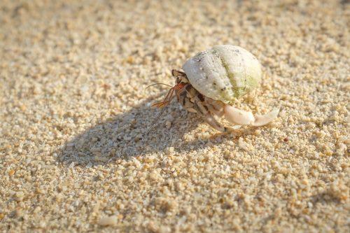 Bernard-l'ermite sur le sable blanc de la baie de Kabira à Okinawa, Japon