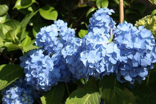 Hortensias en fleurs au musée des cultures du Nord à Niigata, Japon